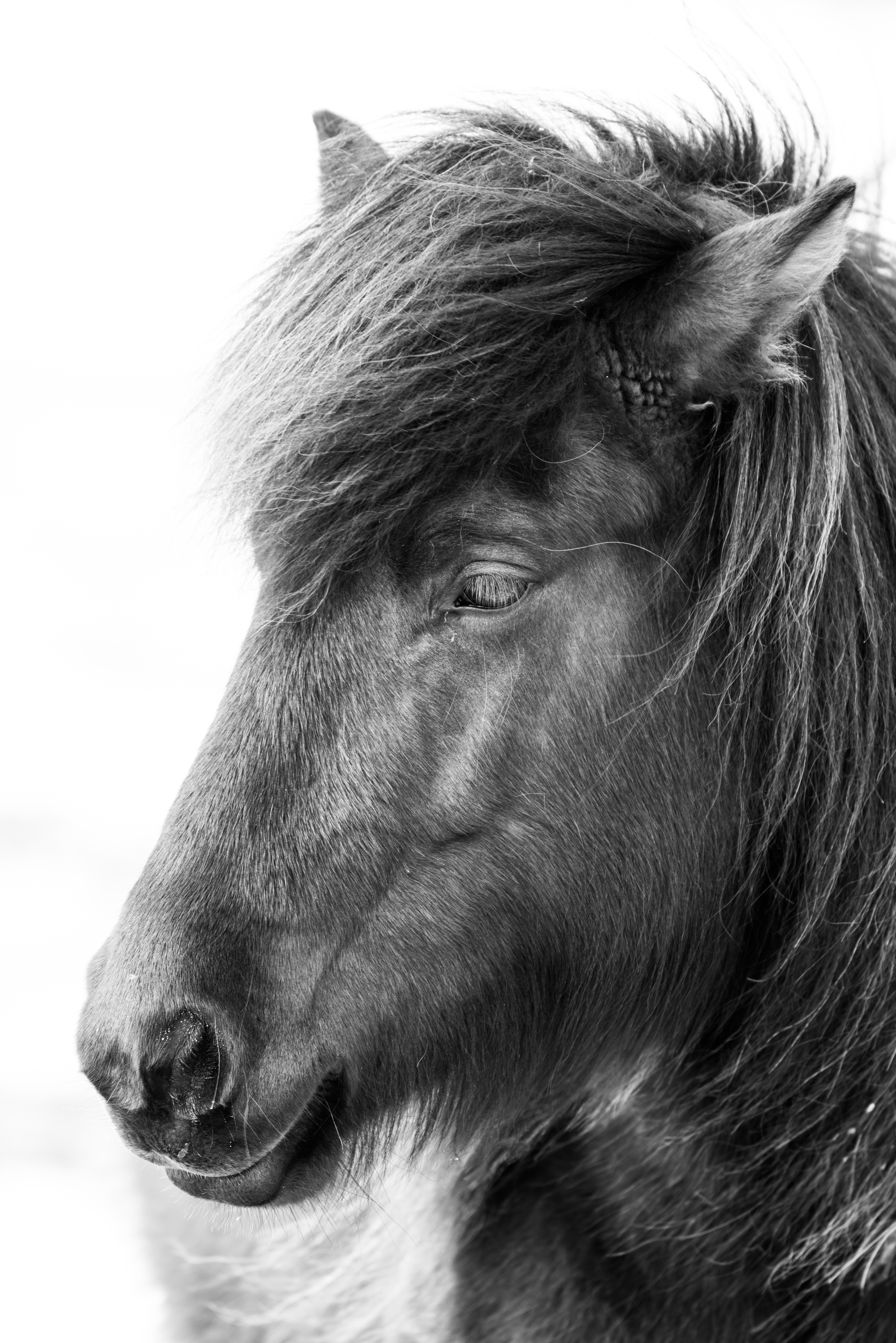 Island Pferd I