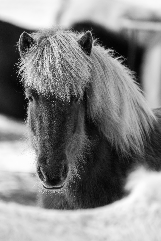 Island Pferd II